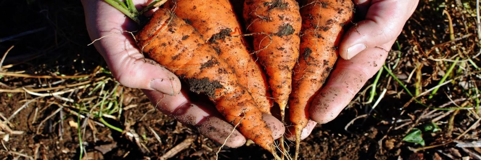 Freshly dug up carrots held over the solid they came from