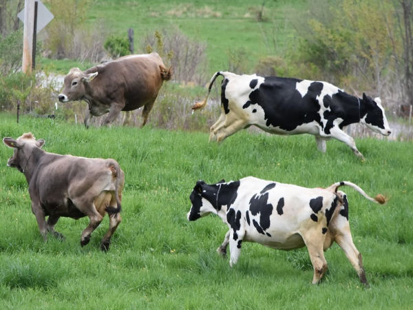 cows running, jumping and playing in a field