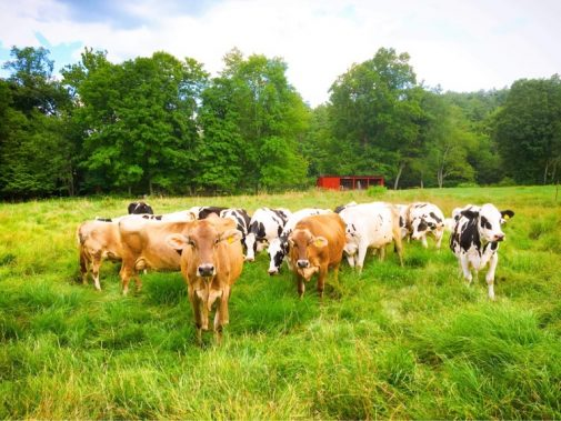 Grazing cows at Stonewall Farm.