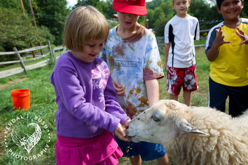 Young girl happily feed a sheep in front of her friends.
