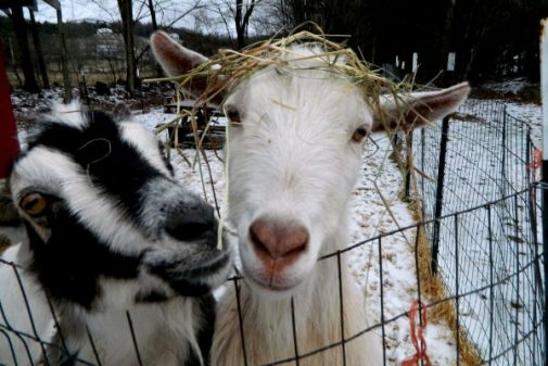 Goats in the snow