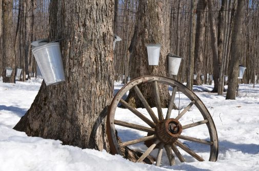 sap bucket on tree