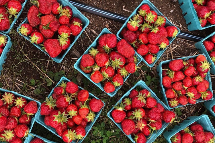 fresh picked organic strawberries
