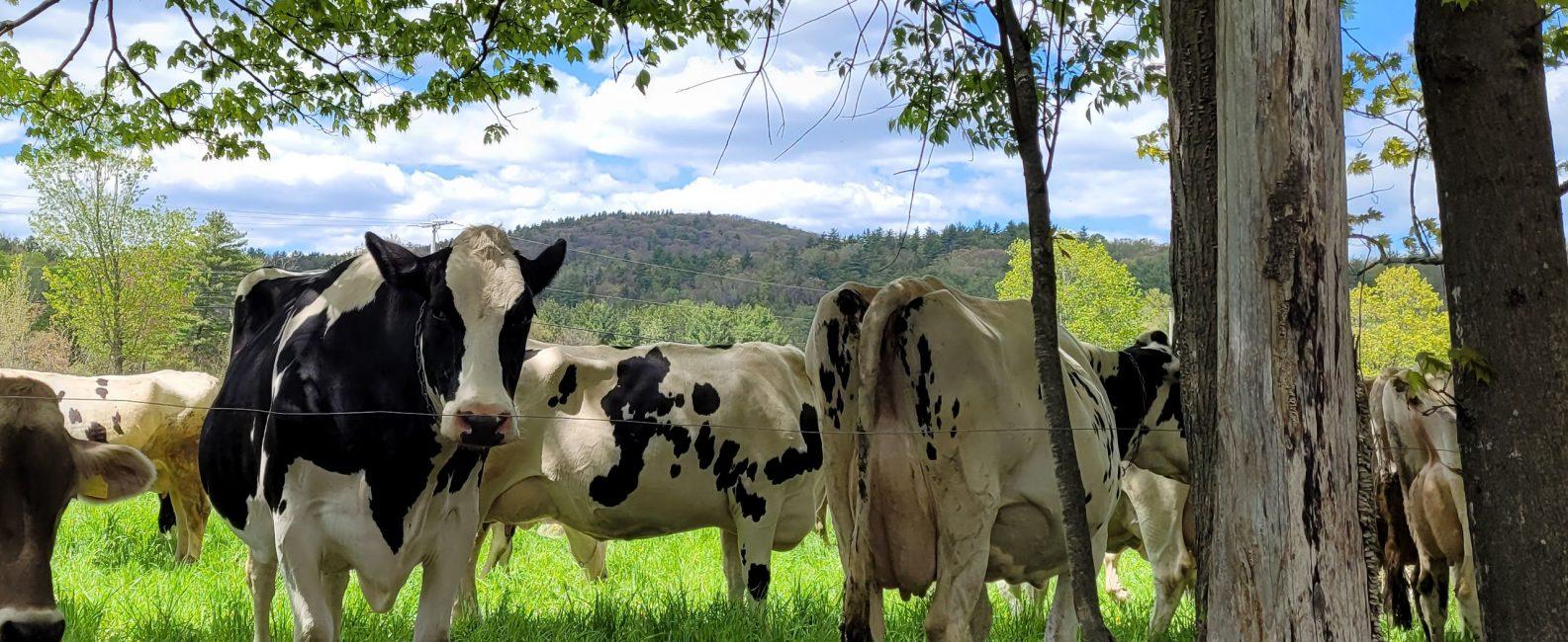 organic dairy cows holistically grazing.